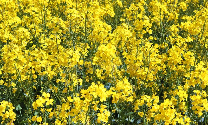 Campo amarillo hermoso de la violaci?n de semilla oleaginosa con un cielo azul soleado en el verano encontrado en Alemania septen imagen de archivo