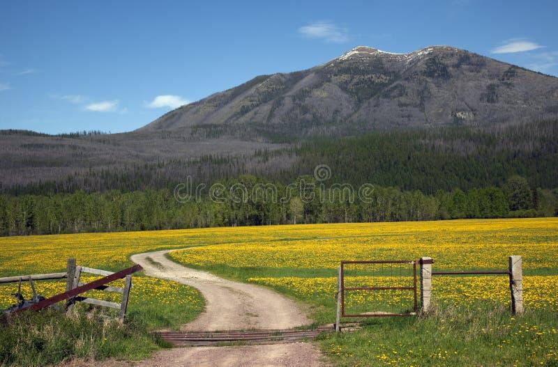 Campo amarillo Montana de la cerca del camino de campo de la flor fotografía de archivo libre de regalías
