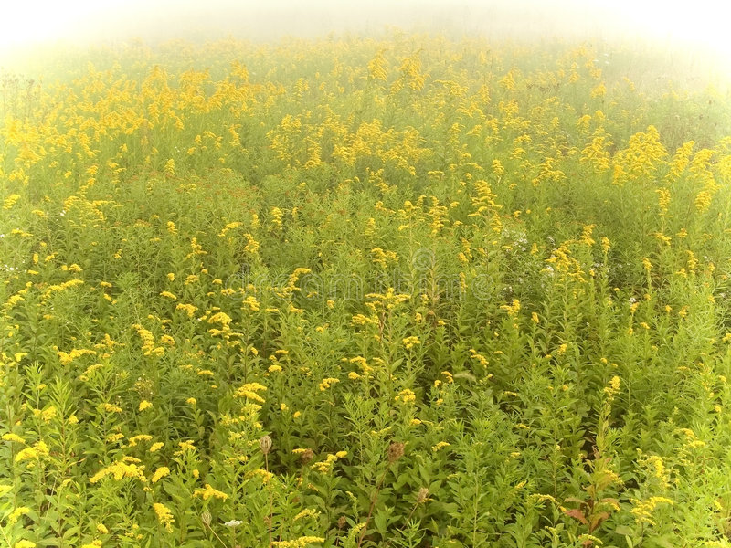 Campo amarillo oscuro imagen de archivo