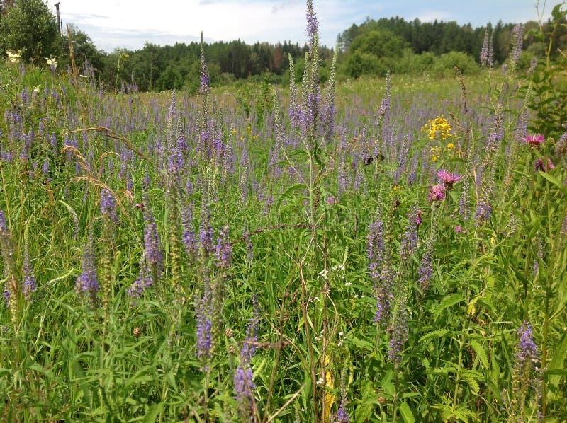 Campo ambiental con las flores salvajes en Rusia central imágenes de archivo libres de regalías