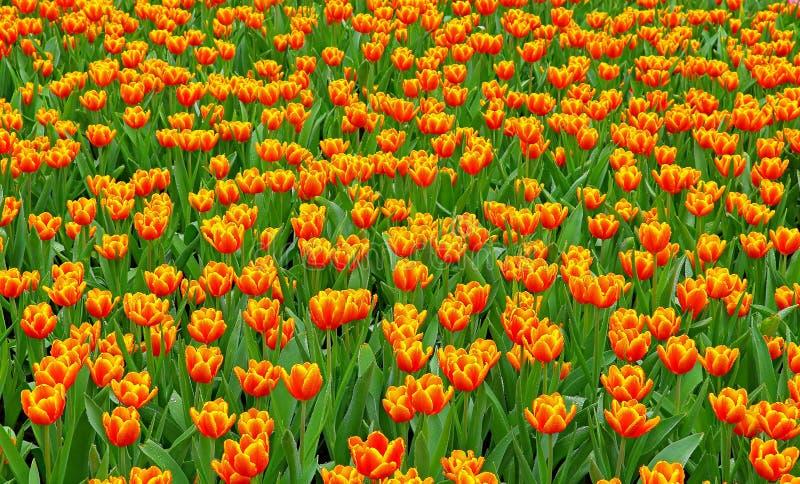 Campo arancio dei tulipani immagine stock libera da diritti