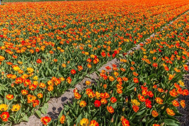 Campo arancio del tulipano in piena fioritura durante la molla nei Paesi Bassi fotografia stock libera da diritti
