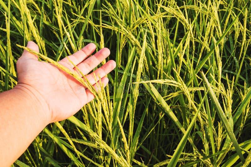 Campo ascendente próximo do arroz 'paddy' com mão imagem de stock royalty free
