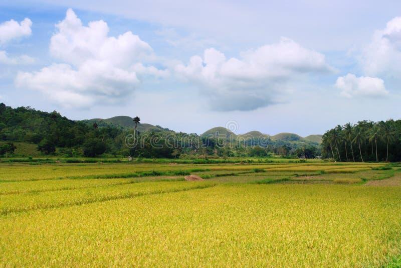 Campo asiático do arroz foto de stock royalty free