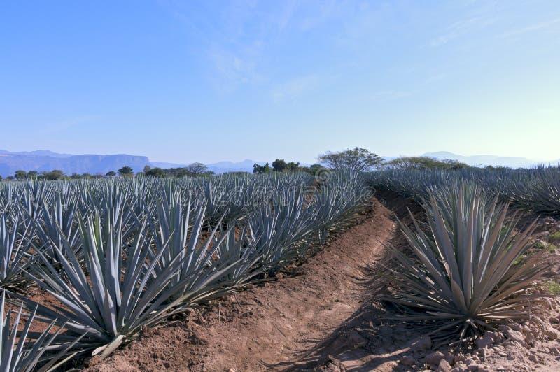 Campo azul del agavo en México fotos de archivo