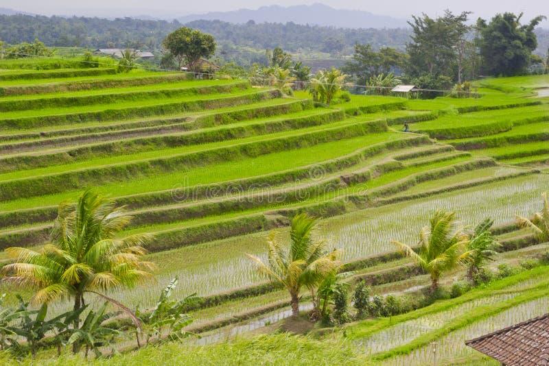 Campo Bali do terraço do arroz, Indonésia imagens de stock royalty free