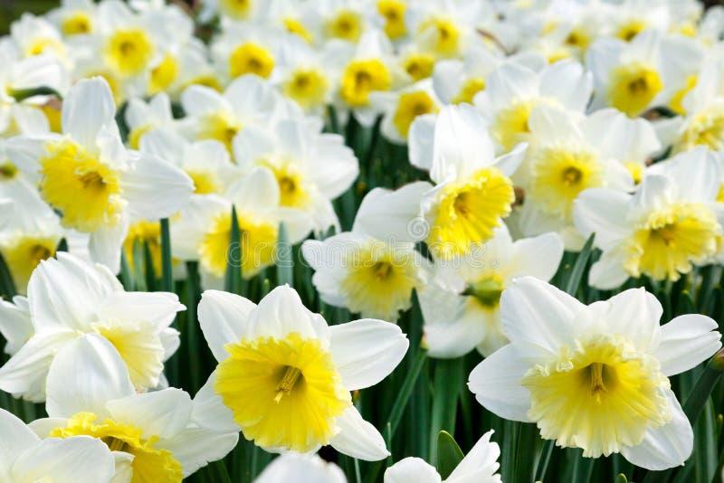 Campo bianco e giallo del narciso immagine stock for Narciso giallo