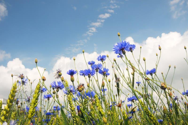 campo blu del cornflower immagine stock libera da diritti