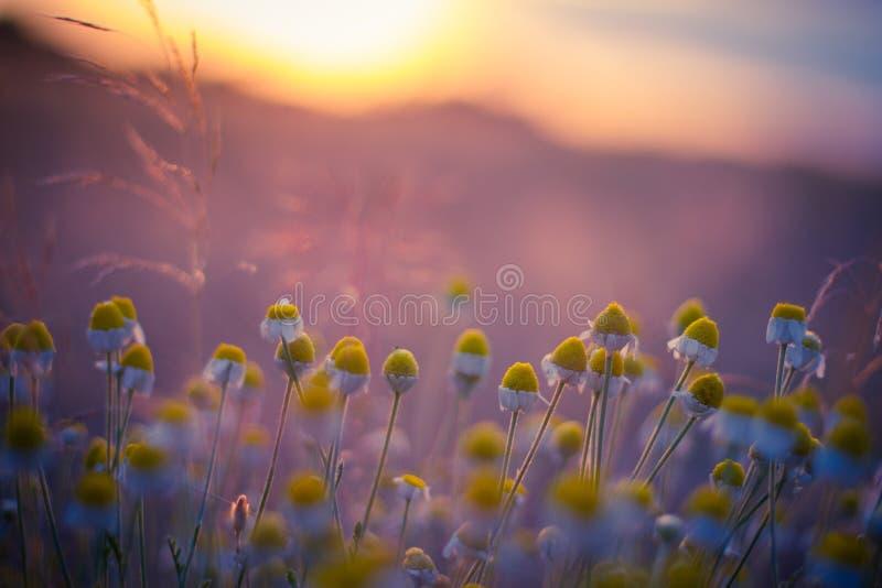 Campo bonito com a camomila no por do sol imagens de stock