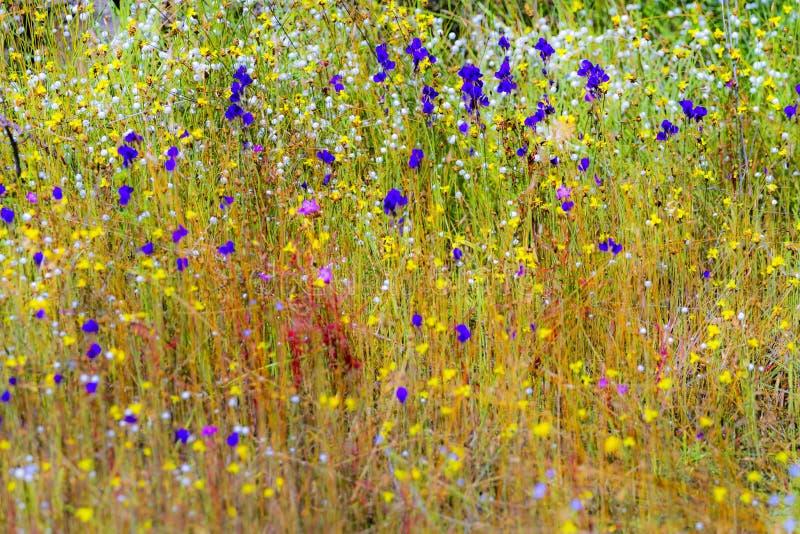 Campo bonito com Utricularia imagem de stock royalty free