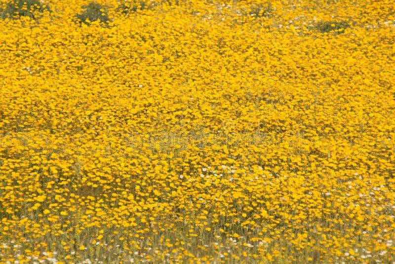 Campo bonito da mola com flores amarelas fotografia de stock