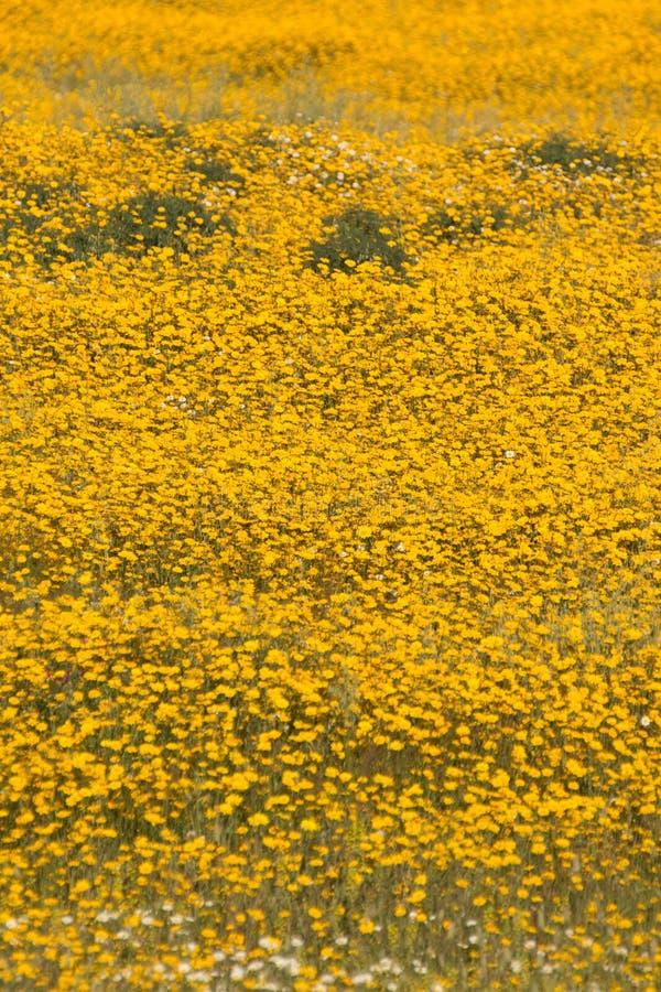 Campo bonito da mola com flores amarelas fotos de stock