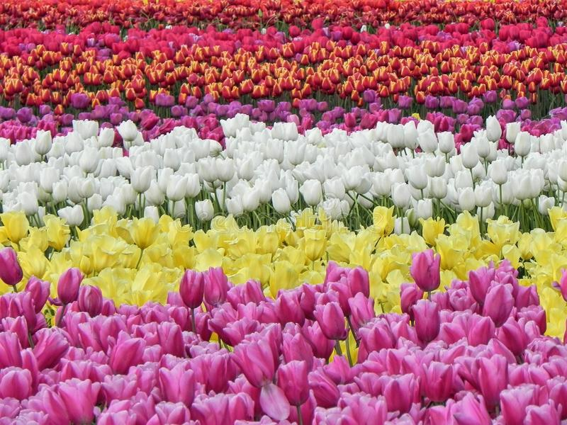 Campo bonito de tulipas de florescência imagem de stock royalty free
