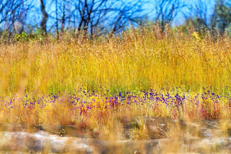 Campo bonito do amarelo do borrão dos delphinoides do Utricularia foto de stock royalty free