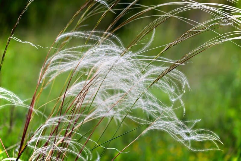 Campo bonito do stipa no vento imagem de stock