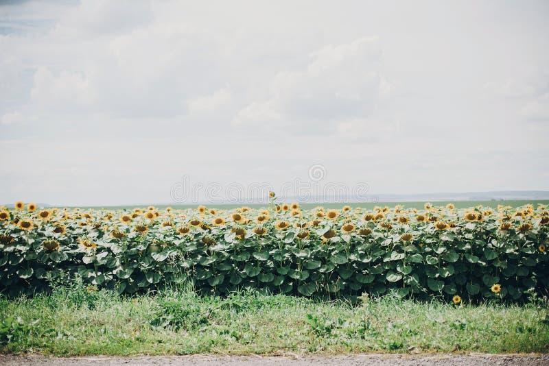Campo bonito dos girassóis no dia de verão ensolarado perto da estrada Terra, agricultura Vista de flores amarelas e do céu nebul imagem de stock