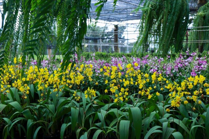 Campo borrado da imagem de fundo de flores amarelas da orquídea imagem de stock