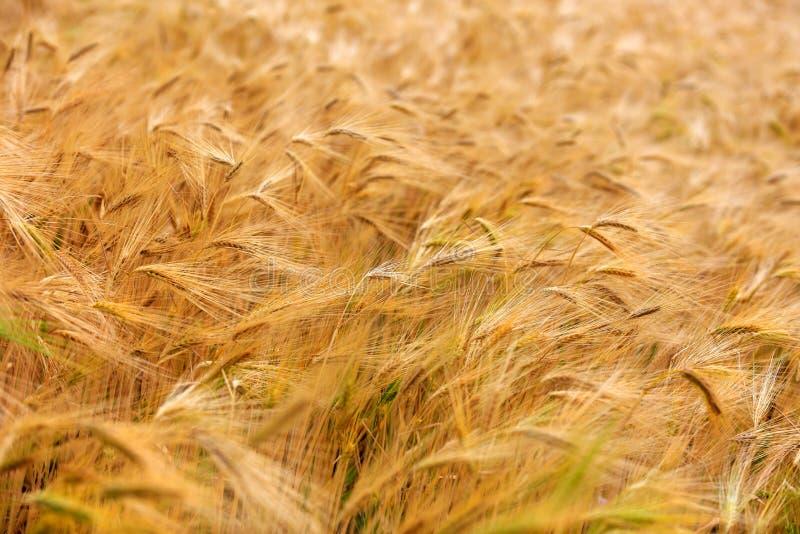 Campo borroso de la cebada casi maduro para cosechar en un summe soleado fotos de archivo libres de regalías
