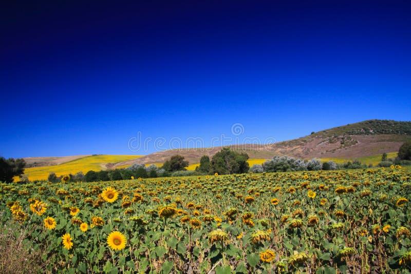 Campo brillante brillante del girasol en paisaje rural montañoso debajo del cielo azul marino - Andalucía, España imagen de archivo libre de regalías