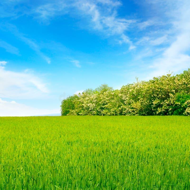 campo, céu azul e árvore de locustídeo fotos de stock