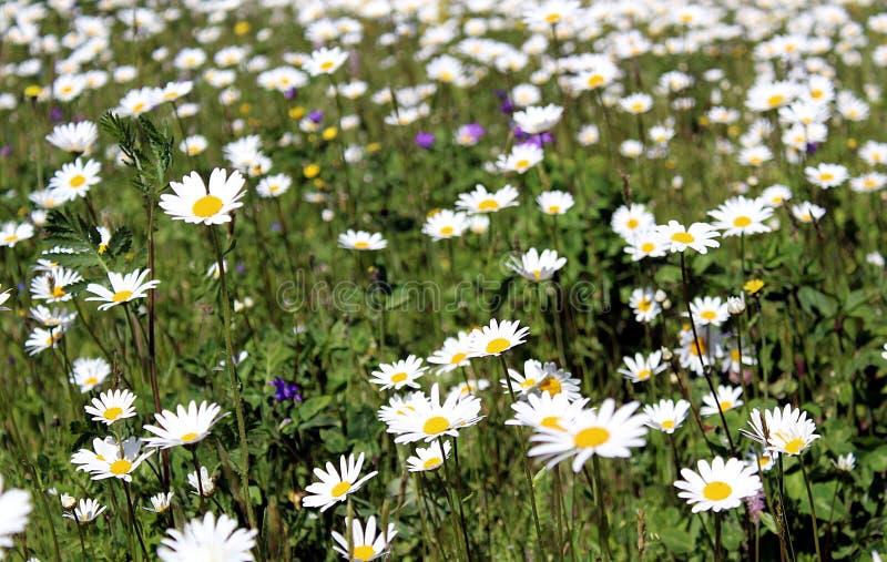 Campo, camomilla, estate, prato, fondo, fiori, molla, camomilla, bianco, fiore, blu, cielo, natura, verde, floreale, landscap fotografia stock
