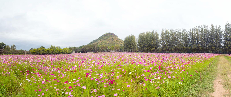 Campo Campo de Chrysanth panorama da flor do cosmos em um campo fotografia de stock royalty free