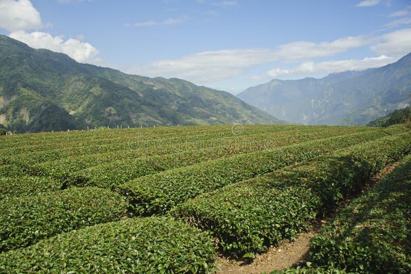 Campo chinês do chá preto em Formosa, Ásia imagem de stock royalty free