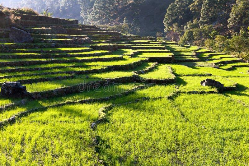Campo colgante del arroz, campo verde del arroz o campo de arroz fotos de archivo libres de regalías