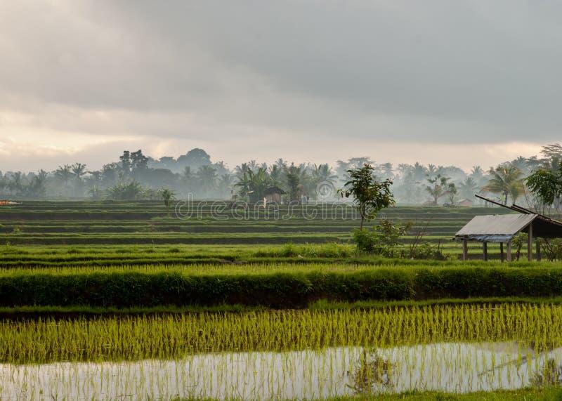 Campo colgante del arroz en Bali con el cielo cubierto foto de archivo