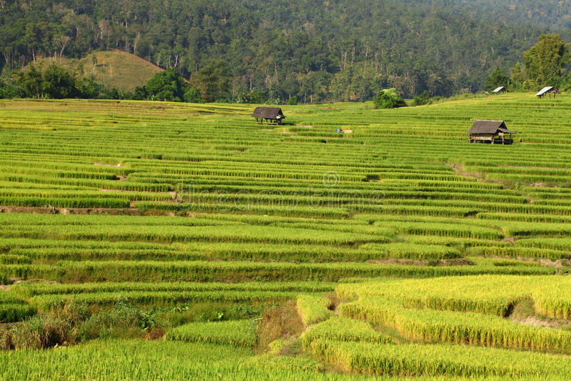 Campo colgante verde del arroz en Chiangmai, Tailandia imagen de archivo
