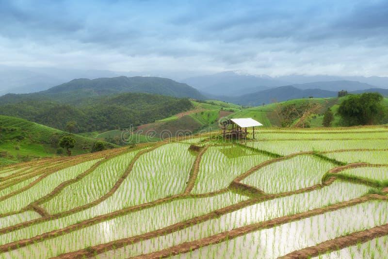 Campo colgante verde del arroz en PA Pong Pieng, Chiang Mai, Tailandia fotos de archivo