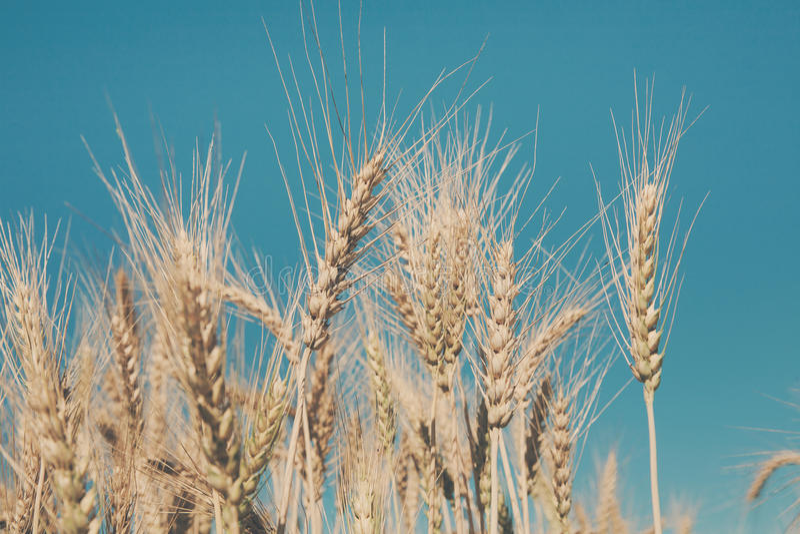 Campo, colheita e cultivo dourados de trigo imagens de stock