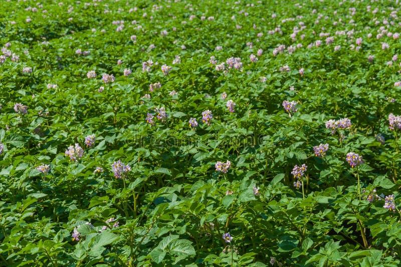 Campo colorido com as plantas de batata de florescência do roxo fotografia de stock royalty free