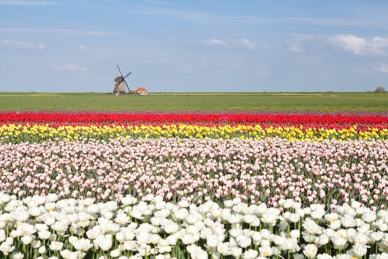 Campo colorido da tulipa e moinho de vento holandês na mola imagens de stock