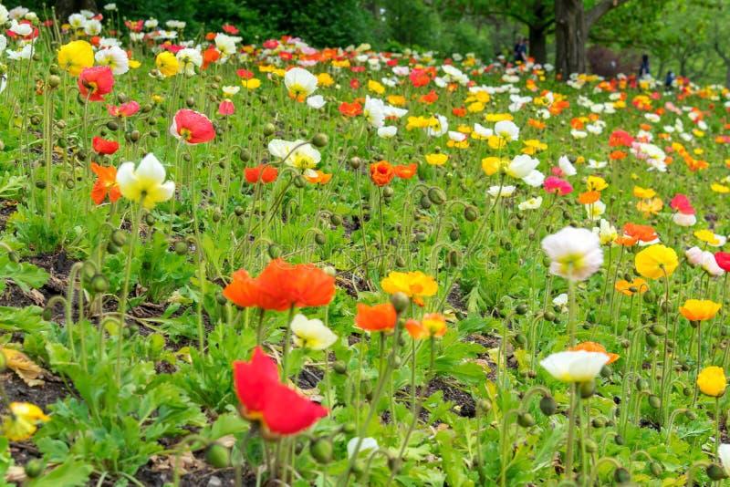 Campo colorido de amapolas en el parque fotos de archivo