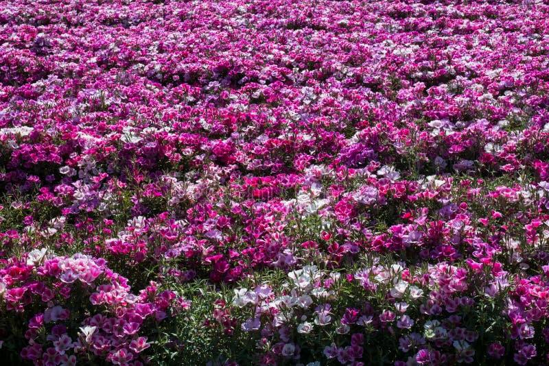 Campo colorido de florescência do verão das flores imagem de stock