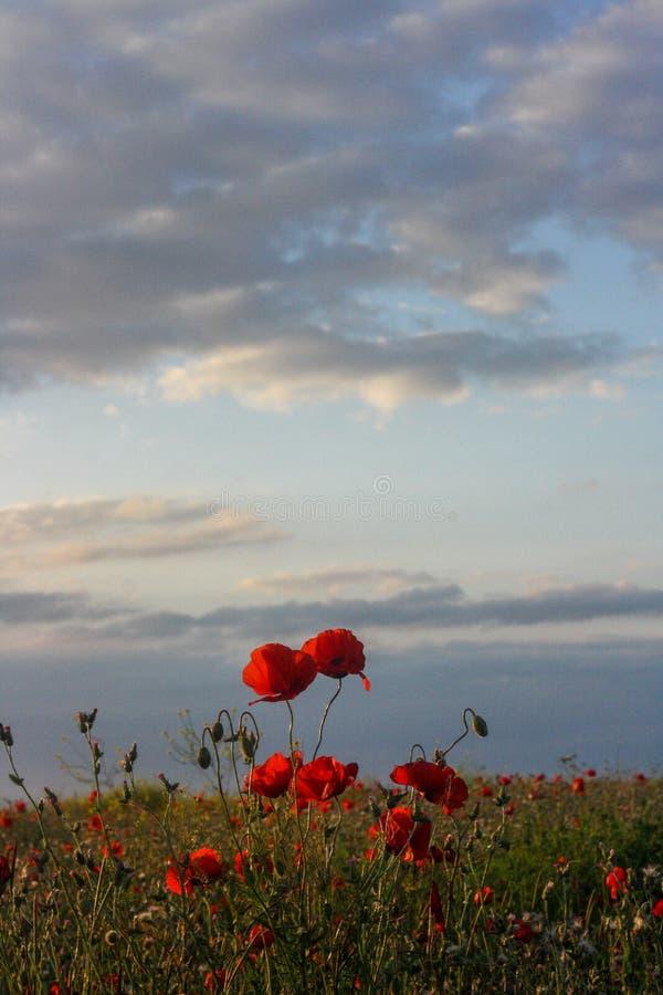 Campo colorido del verano escénico de amapolas y del cielo nublado foto de archivo libre de regalías