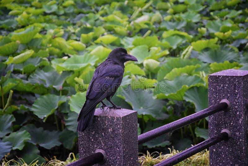 Campo común del pájaro del corax de Raven Corvus, primer de un negro salvaje hermoso del vuelo entonces encaramado en vuelo Cuerv imagen de archivo