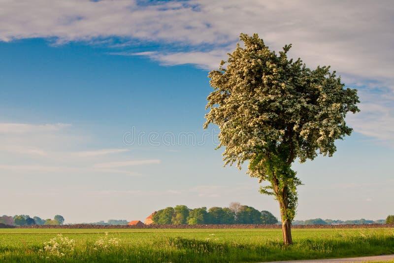 Campo com árvore de florescência fotografia de stock