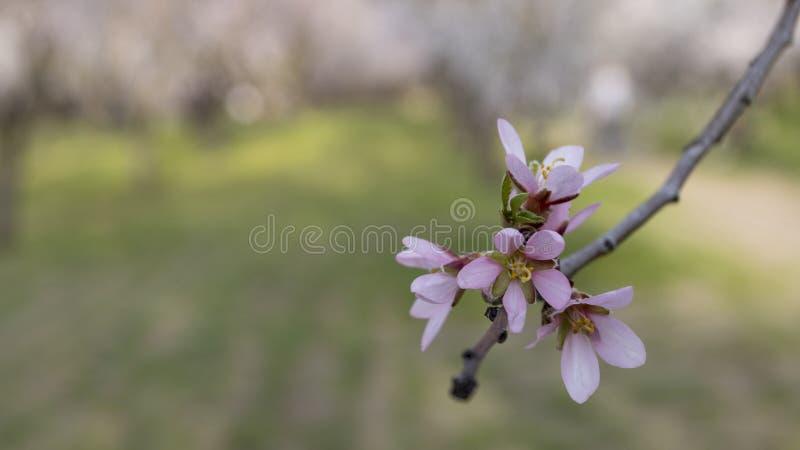 Campo com as flores de cerejeira na mola fotografia de stock