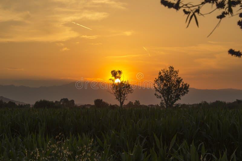 Campo com as plantas de milho do milho no por do sol Sun que esconde atrás da árvore imagem de stock