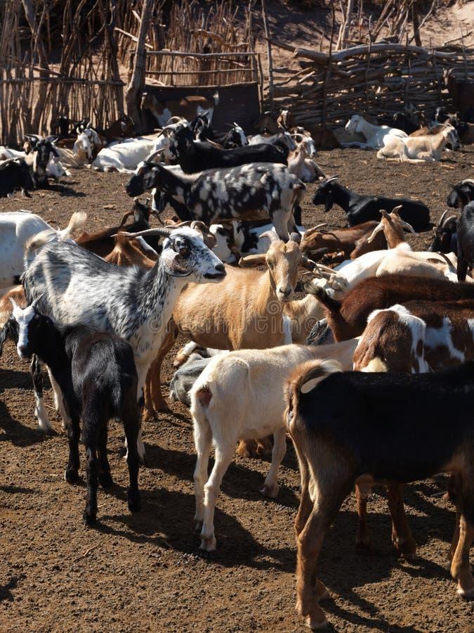 Campo com cabras fotos de stock