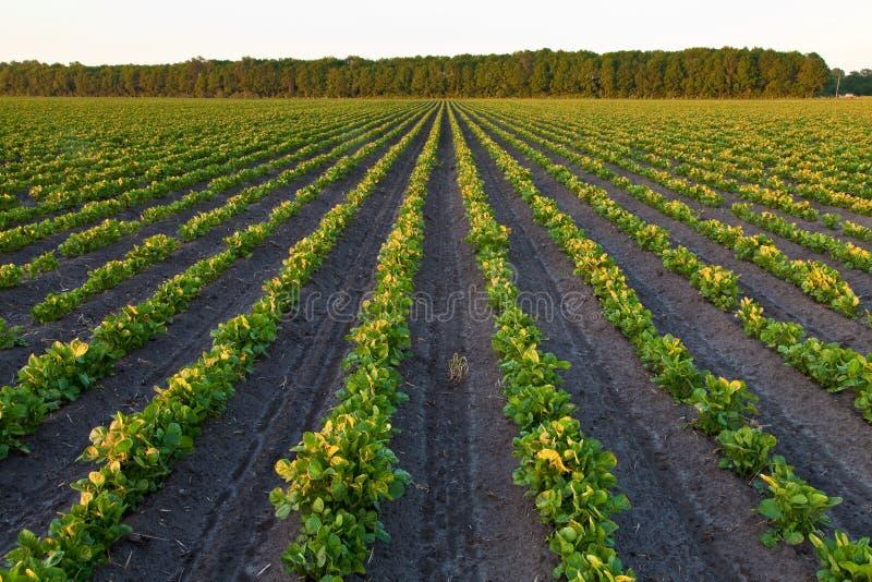 Campo com campo e árvores da batata imagem de stock
