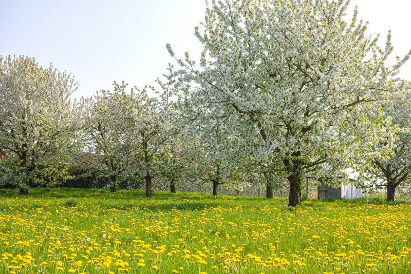 campo com dentes-de-leão e flor da árvore de cereja, estação de mola em pomares de fruto na região agrícola de Haspengouw em Bélg foto de stock royalty free