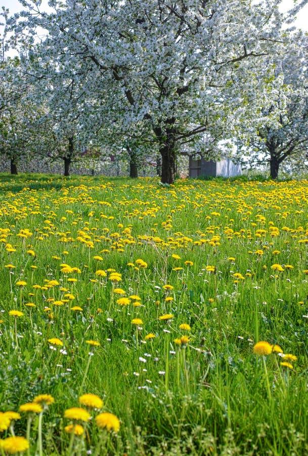 campo com dentes-de-leão e flor da árvore de cereja, estação de mola em pomares de fruto na região agrícola de Haspengouw em Bélg fotos de stock