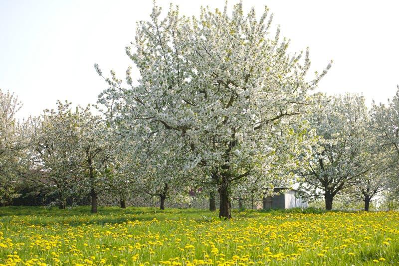 campo com dentes-de-leão e flor da árvore de cereja, estação de mola em pomares de fruto na região agrícola de Haspengouw em Bélg imagens de stock