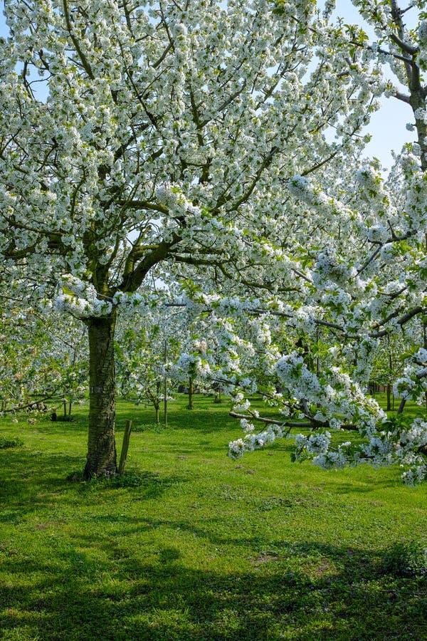 campo com a flor herry da árvore dos dentes-de-leão e do  de Ñ, estação de mola em pomares de fruto na região agrícola de Haspen imagem de stock
