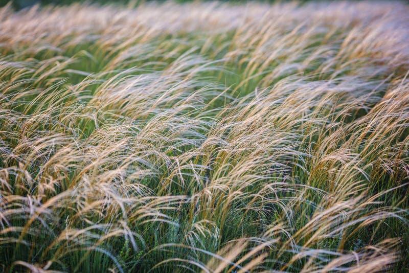 Campo com gramas selvagens no por do sol Foco seletivo imagem de stock royalty free