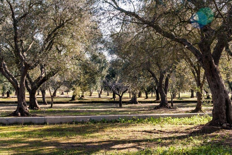 Campo com oliveiras fotografia de stock
