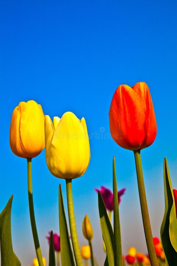 Campo com os tulips coloridos de florescência imagem de stock royalty free